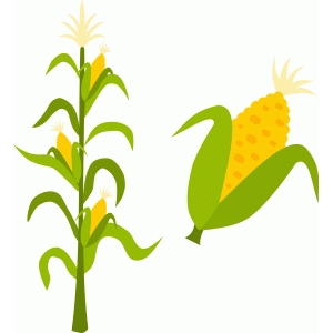 corn stalk and ear
