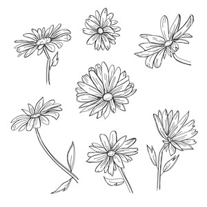 daisy set sketch